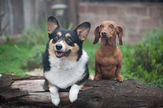Wiener + corgi = BFFs  @Lorelei Kluever this is why Millie and Gatsby are in love!