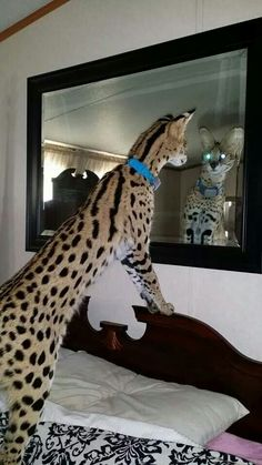 Serval cat to show in comparison the size of a serval