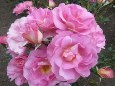 """"""" Pacific Glory """" (SOMskywer) also introduced by  """" So In Love"""" - Floribunda rose - Pink, lavender -pink with tan or fawn tint - Rob Somerfield (New Zealand), 2004"""