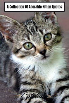 There are many famous quotes about cats, but there are also some well-known quotes about kittens that you'd probably enjoy! #cattitudedaily #kittenquotes #cats #kittens #quotesaboutcats Kitten Quotes, Cat Love Quotes, Baby Kittens, Kittens Cutest, Cats And Kittens, Cute Cat Names, Getting A Kitten, Kitten Cartoon, Adorable Quotes