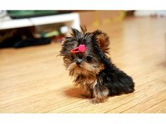 I have nice teddy bear doll faces teacup and Toy Yorkies. Do have some that will stay dark black and tan as adults which is & The post Yorkshire Terrier Teacup & Toy Yorkie Teddy Bear Doll Faces appeared first on Murtaza Mutts. Little Dogs, Micro Teacup Yorkie, Micro Pomeranian, Mini Yorkie, Teacup Poodles, Teacup Schnauzer, Teacup Yorkie For Sale, Teacup Pomeranian, Yorky Terrier