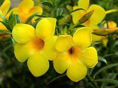 Ornamental Plants:       Allamanda  Allamanda are popular ornamental ...