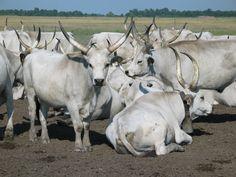 Hungarian grey-white cattle - Wikipedia