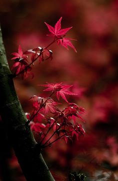 """chasingrainbowsforever: """" chasingrainbowsforever: """" Maple Leaves """" ChasingRainbowsForever ~ Rewind and Remix Fall Foliage """" Autumn Trees, Autumn Leaves, Red Leaves, Maple Leaves, Terre Nature, Cactus E Suculentas, All Nature, Shades Of Red, Belle Photo"""