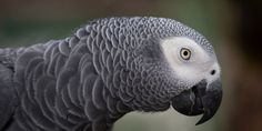 African Grey Parrots are on the brink of extinction in the wild, but snatching…