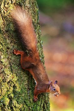 Red Squirrel by charlie.syme, via Flickr