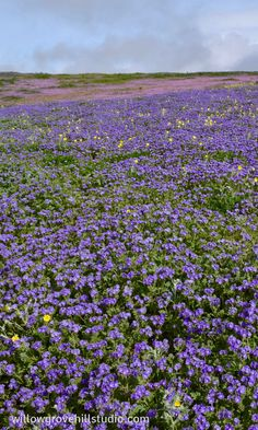 spring wildflowers in Kern County, California - purple phacelia, yellow monolopia, pink filaree