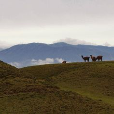 The windy andes of #Ecuador #llama #volcano #andes #amazing #animals #beautiful #scenery #cool #creatures #naturelovers #love #nature #picoftheday #photooftheday #travelbug #weekend #travel #getaway #instatravel #happy by happygringo