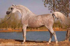 Fares Al Rayyan. 2005 Straight Egyptian stallion. Ansata Hejazi {Ansata Halim Shah x Ansata Sudarra by Ansata Abu Sudan} x G Shafaria {Prince Fa Moniet x Ansata Sharifa by Ansata Ibn Shah}