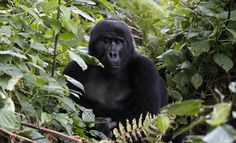 What You Buy at the Supermarket Could Endanger Africa's Apes  Don't bay products with palm oil in!