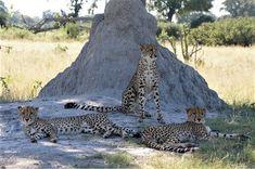 Join Little Vumbura guide Lettie for a jaw-dropping morning on the Kwedi Concession... #OkavangoDelta #safari #cheetah