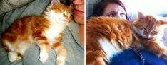 chat roux poils longs avant après
