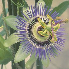 Blue passion flower. Latin name: Passiflora caerulea. Zones 6-9. Learn more here http://www.finegardening.com/plantguide/passiflora-caerulea-blue-passion-flower.aspx
