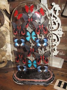 Beautiful antique butterflies in Victorian glass dome taxidermy.