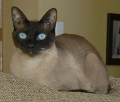 Beautiful Seal Point Siamese  #cats