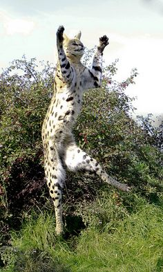 Serval by wwmike, via Flickr