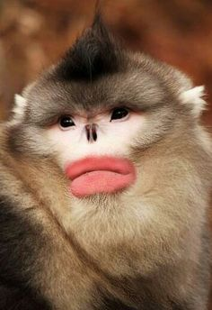 Pygathrix genus. Snub-nosed monkeys live in Asia, with a range covering southern China (especially Tibet, Sichuan, Yunnan, and Guizhou) as well as the northern parts of Vietnam and Myanmar.