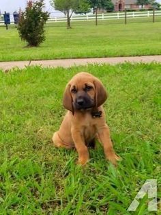 Bloodhound Puppies for Sale in Haslet, Texas Classified ... #bloodhound puppies