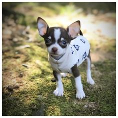 Cute chihuahua staying warm in a sweater