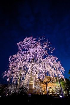 Beautiful weeping cherry tree in the garden of To-ji Temple, Kyoto, Japan | Toshi, on Flickr. Love how the nighttime illumination of the tree makes it glow an even more vibrant, almost iridescent hue of purple. #travel #japanese #temple #kyoto #japan