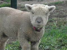 babydoll sheep - - Yahoo Image Search Results
