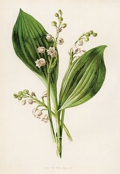 Image detail for -Lily of the Valley, Antique Print, 1890's