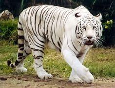tigre-blanco ♥