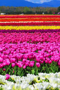 Tulip fields at the Skagit Valley Tulip Festival in Washington. Click through to read a guide on visiting the fields