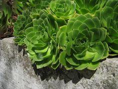 chartreuse succulents (escheveria) against concrete... nice contrast