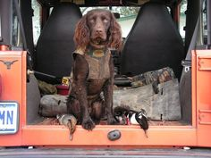 Outstanding hunting dogs info is available on our site. Check it out and you will not be sorry you did. Working Cocker, Working Dogs, Boykin Spaniel, Springer Spaniel, Hunting Dogs, Duck Hunting, Purebred Dogs, Brown Dog, Beautiful Dogs