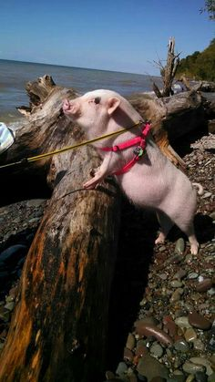 Just Mini pigs Baby Piglets, Cute Piglets, Teacup Piglets, Cute Baby Animals, Funny Animals, Small Pigs, Pot Belly Pigs, Mini Pigs, Pet Pigs