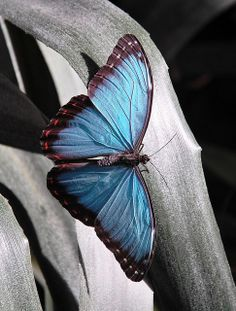 ~~Blue Morpho Butterfly by There and back again~~