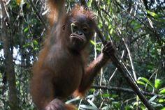 Statement by JAAN - Orangutan Outreach List Of Animals, Baby Animals, Save The Orangutans, Baby Orangutan, Mountain Gorilla, Planet Of The Apes, Animal Species, Extinct, Guerrilla
