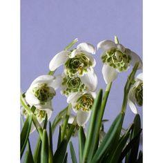 Galanthus 'Snowdrops'  | Eurobulbs UK