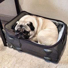 this is why pugs are the most precious things ever. Brady does this when my mom has to go out of town.