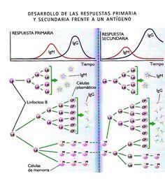 Respuestas inmunes primaria y secundaria (memoria). Base de la vacunación.