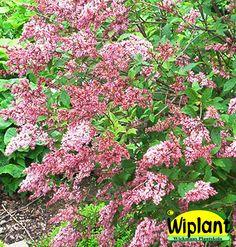 Syringa x henryi 'Julia', Norrlandssyren. Rödrosa blommor, Närpes klon. Höjd: 2-3 m.