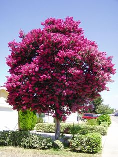 Crepe Mytrle tree - they are pink, white, purple or fuchsia) drought tolerant