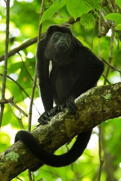 "You can hear Howler Monkeys ""barking"" in the trees when you walk through the rainforest."
