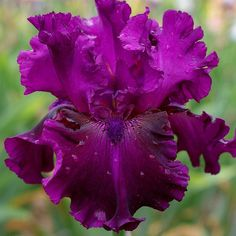 iris purple serenade ar