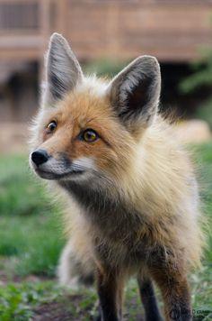 Fox by Matt Kramp