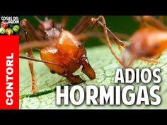Como eliminar las hormigas del huerto - Novedosa receta casera organica y efectiva @cosasdeljardin - YouTube