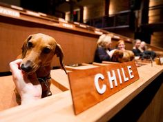 What happens when Chile gets aggressive? Well, at the dachshund UN in Toronto, a little chin scratch helps even the fiercest delegate simmer down.
