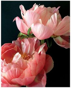 I love the coral-pink of these peonies - against the black backdrop they really stand out.: