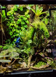 exo terra vivarium with two azureus