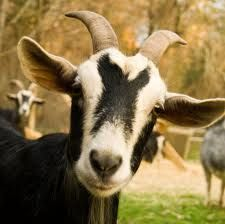 Different types of goats are