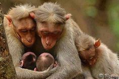 Monkey family with cute babies. Find out more free funny photos and visual jokes at Kids World Fun which are updated on daily basis. Animals And Pets, Baby Animals, Funny Animals, Cute Animals, Nature Animals, Wild Animals, Primates, Mammals, Beautiful Creatures