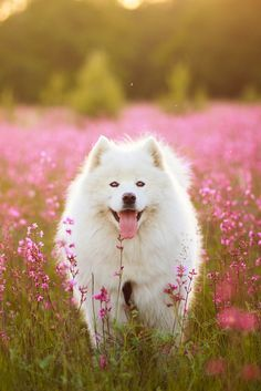 Dogs - Samoyed in the flowers.