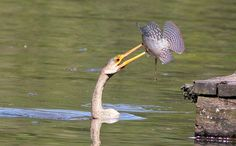 Foto biguatinga (Anhinga anhinga) por Horácio de Almeida | Wiki Aves - A Enciclopédia das Aves do Brasil