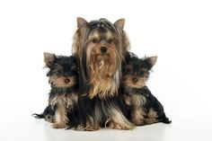 Yorkshire Terrier With Puppies Photograph by John Daniels
